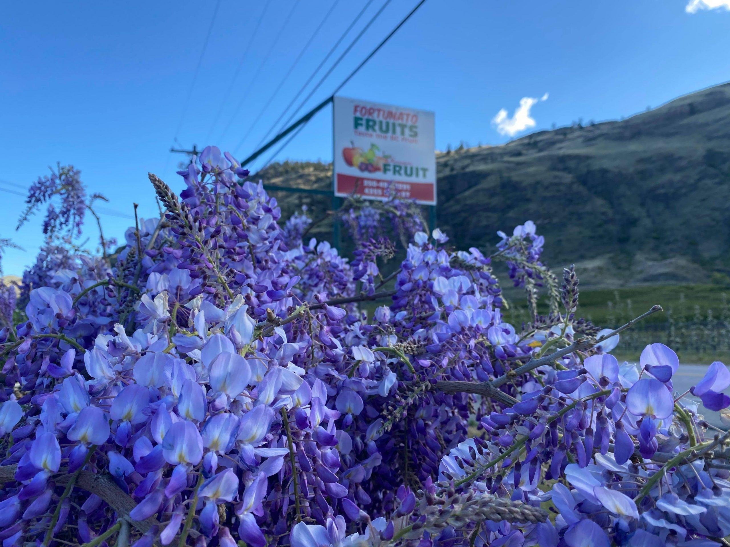 Wisteria Plants